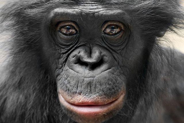 Шимпанзе бонобо Медиапроект s-t-o-l.com