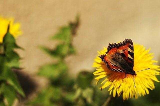 Бабочка на одуванчике Медиапроект s-t-o-l.com