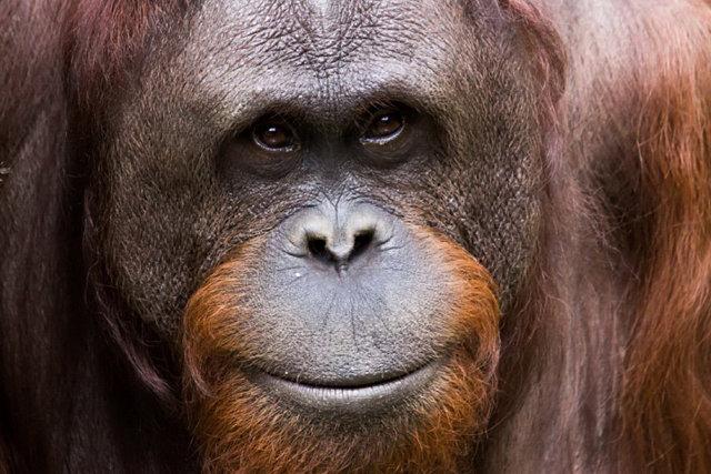 Орангутан Медиапроект s-t-o-l.com