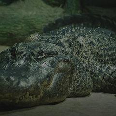 Юбилей изгнанника, голосование по почте и смерть крокодила фюрера
